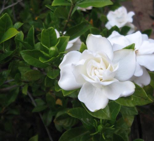 Gardenia June12