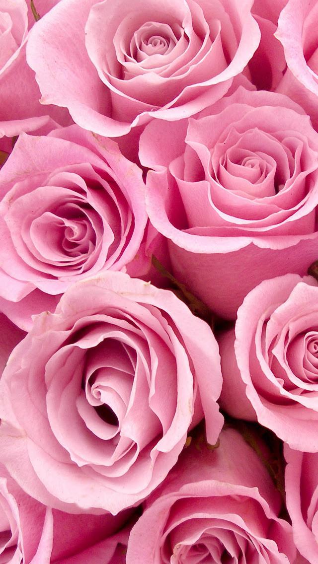 Pink Rose iPhone Wallpaper HD