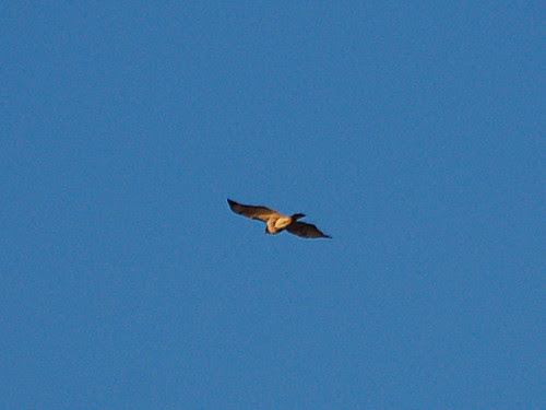 Red-Tail over Inwood