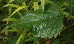 White Snakeroot leaf