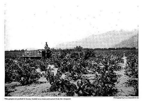 Harvest in the Vineyard