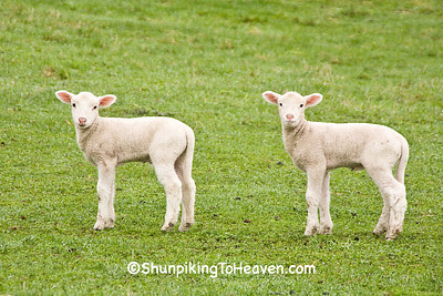Lambs in Pasture, Dane County, Wisconsin