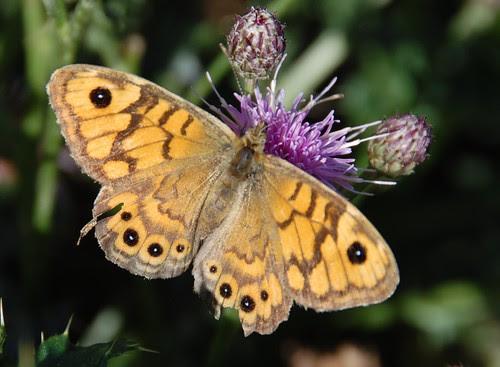 tatty wall butterfly