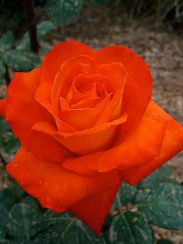Rose 'France Libre'