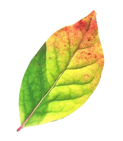 autumn leaf png transparent image pngpix