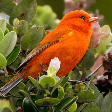 Hawaiian Akepa, rare & smallest of the Hawaiian forest birds. Males brilliant orange plumage takes four years to develop.  by Jack Jeffrey