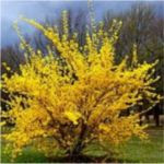 Forsythia For Sale
