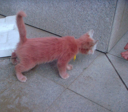 "A man discovered a pink-coloured stray cat roaming around the  community where he lives. Yao Xianhai, from Lanzhou in western China's  Gansu Province, said he didn't believe his eyes when he first spotted  the pink kitten. ""I thought I had a blurred vision, but I then realised  it was truly pink."" No one has come forward as yet to claim the stray. Picture: Quirky China News / Rex Features"