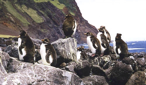Pinguins chegam a Tristão da Cunha