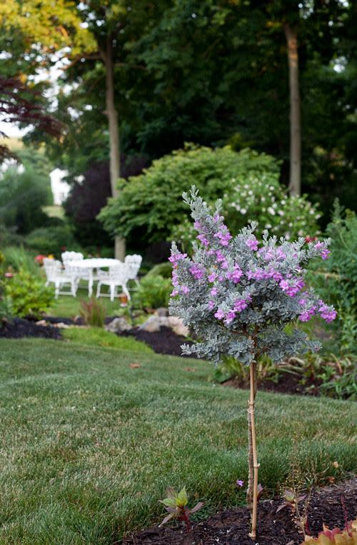 Purple Sage 2