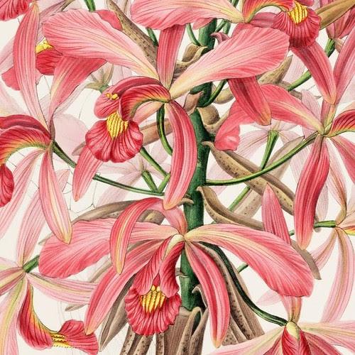 Laelia superbiens (close-up orchid flower detail)