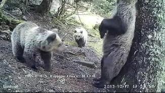 L'óssa Hvala amb les seves dues cries al Pirineu
