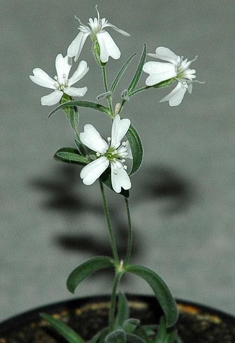 Reviven una planta congelada hace 30.000 años