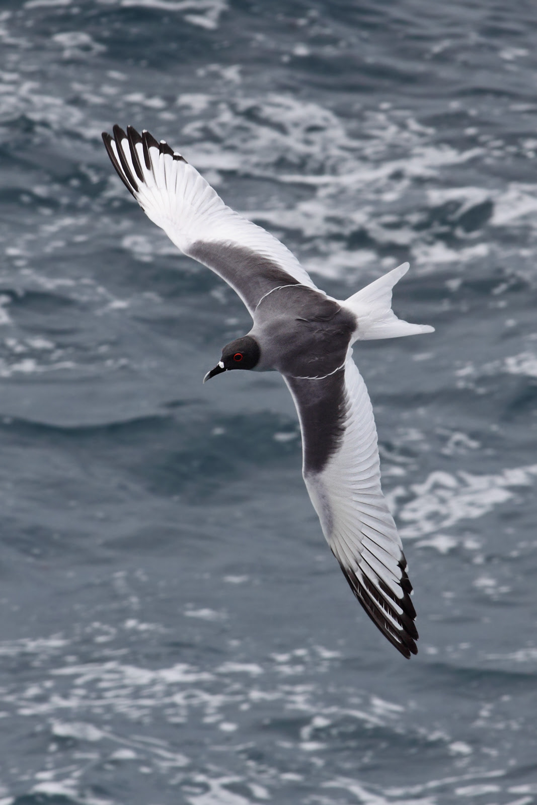 http://upload.wikimedia.org/wikipedia/commons/8/84/Swallow-tailed-gull-dorsal.jpg
