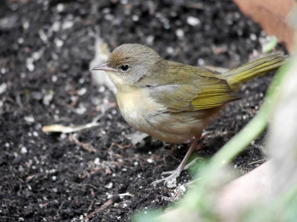 Ed Gaillard: birds &emdash; Common Yellowthroat, St. Bartholomew's Church