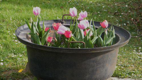 pandero tulipa