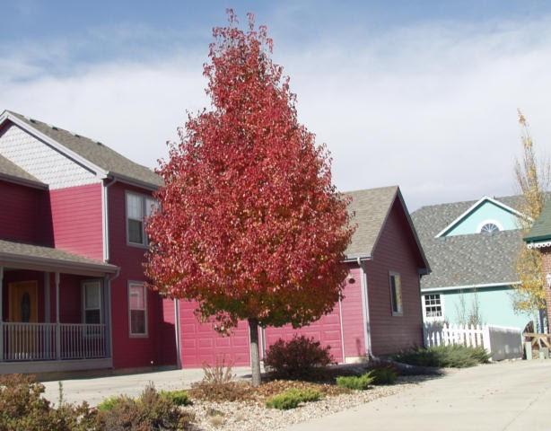 Cleveland Flowering Pear Thetreefarmcom