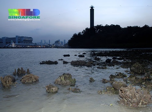 Coral reefs on shores on Sentosa slated for reclamation