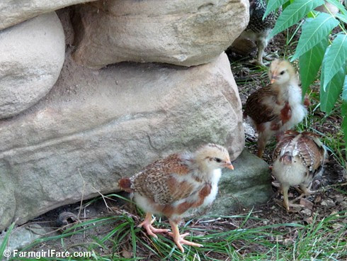 Lokey and her ten chicks (7) - FarmgirlFare.com