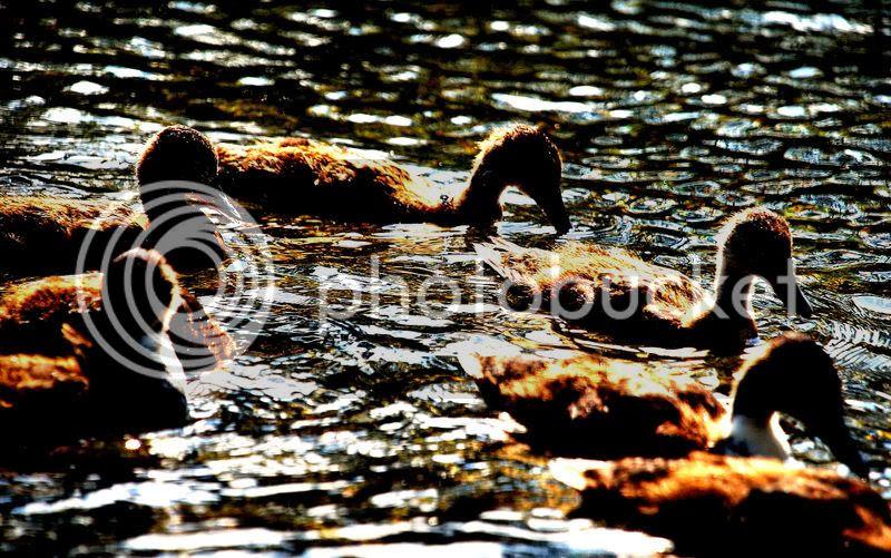 ducklings at dusk