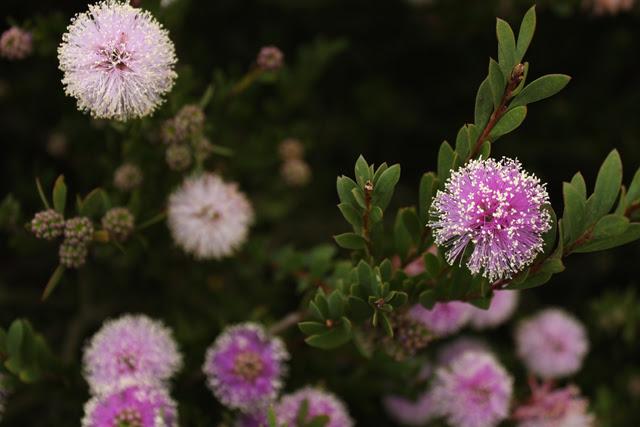 Acacia blooms