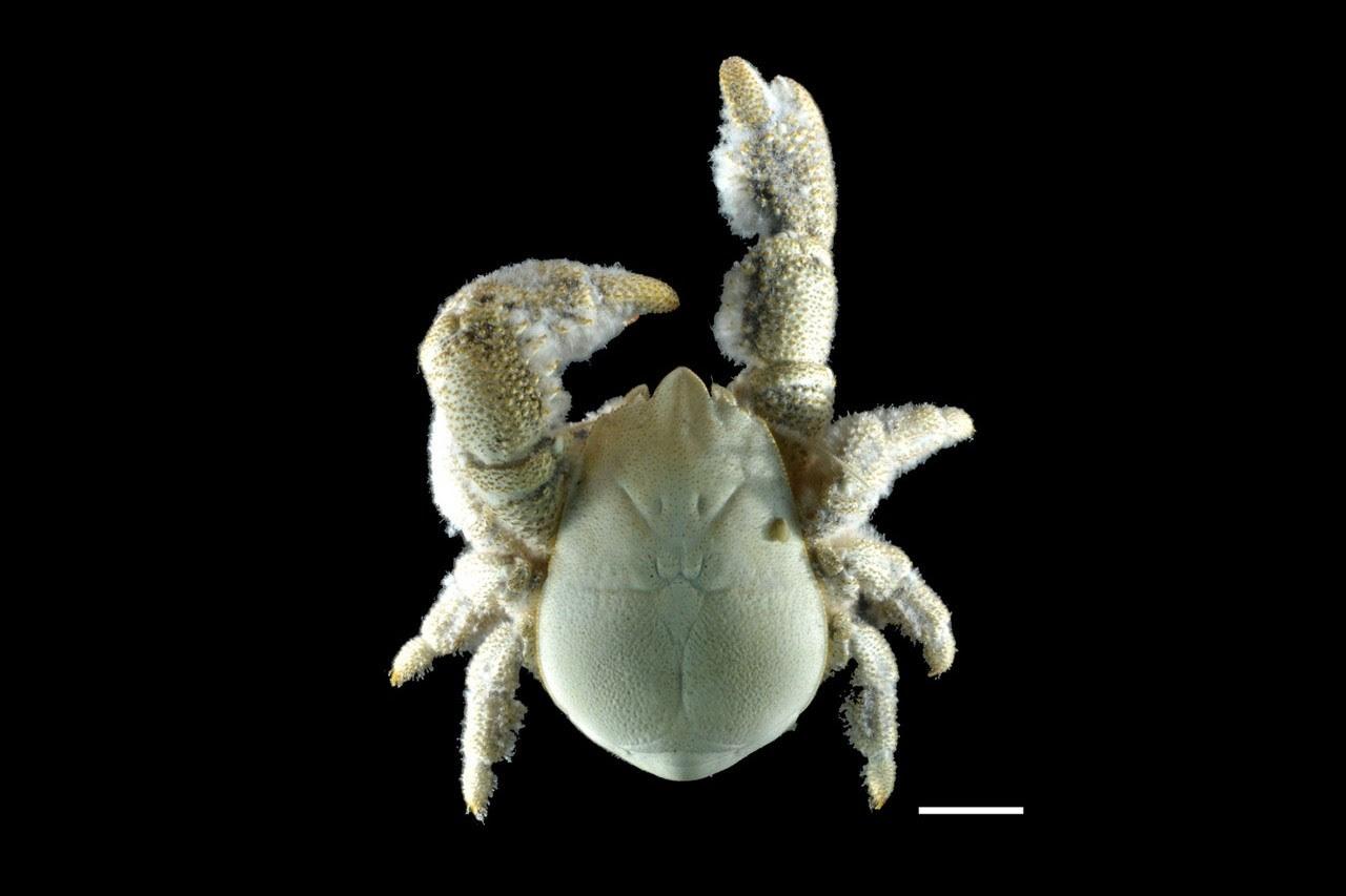 Nova espécie pode medir de meio até 15 centímetros (Foto: Reprodução)