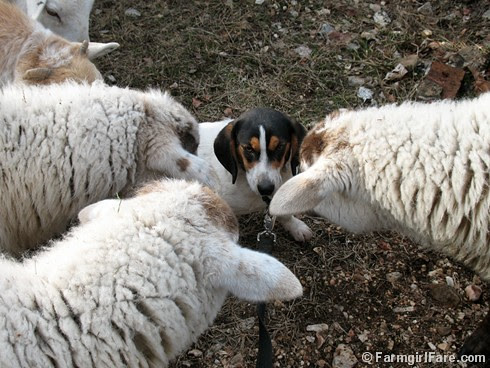 Meet the Sheep Day 13