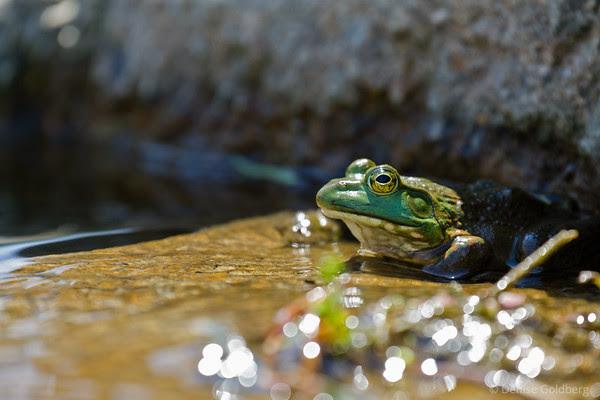 frog wearing green
