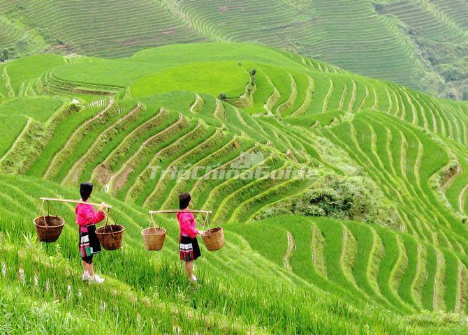 beautiful Longji Rice Terrace Longsheng