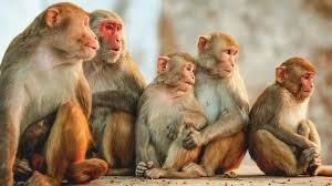 वृंदावन के बंदर चार चीजों को क्यूं छीनते हैं