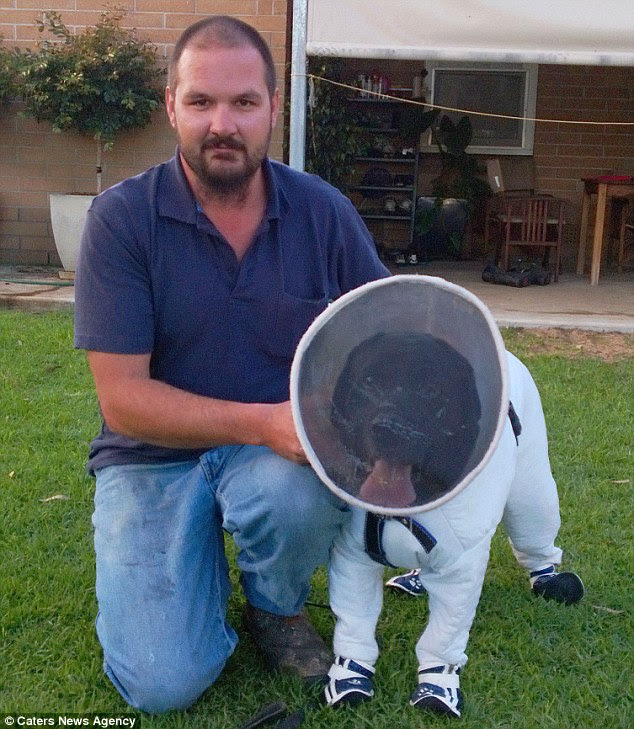 Bazz the black labrador (pictured in his special suit) has been trained by beekeeper Josh Kennett