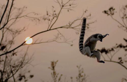 Ring-tailed lemur jump por floridapfe
