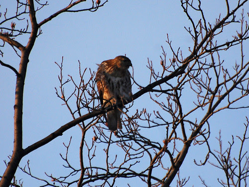 Juvenile Red-Tail in Riverside Park