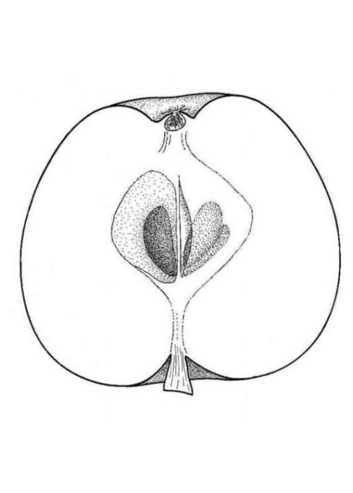 Malvorlagen zum Drucken Ausmalbild Apfel kostenlos 4