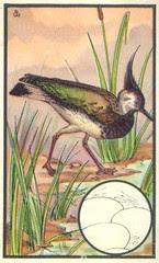 vanneau