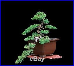 Indoor Bonsai Bonsai Tree Semi Cascade Japanese Green Mound Juniper In Tokoname Keizan Pot Http Indoorbonsai Biz
