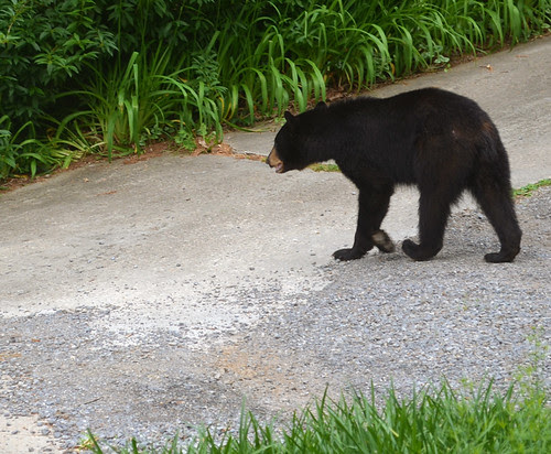 bear in the driveway