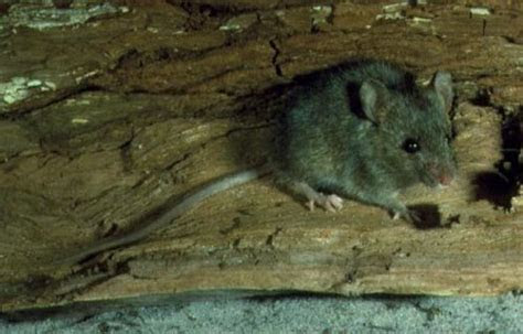 House Mouse   Australian Museum
