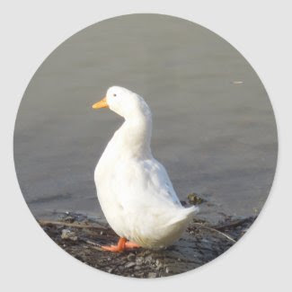 White Duck at Edge of Lake Stickers