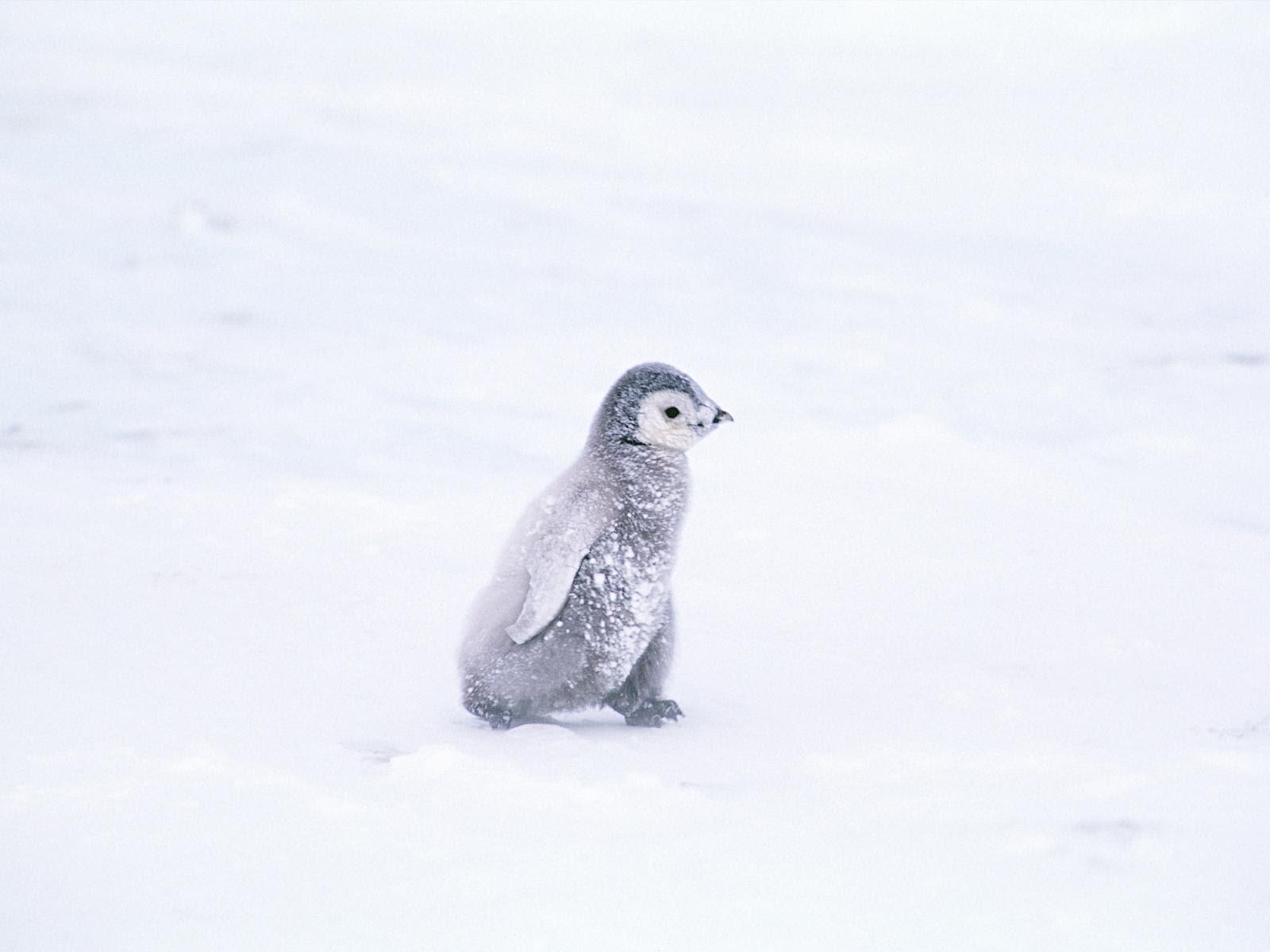 ペンギンの壁紙 Wallpaper Pad 壁紙まとめサイト