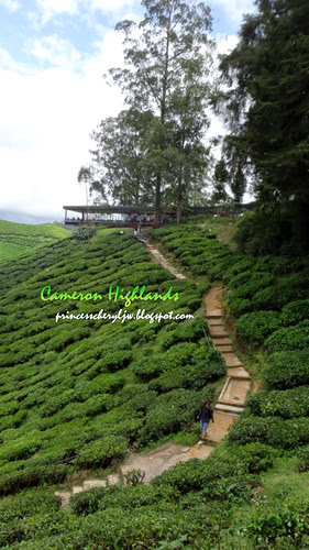 Cameron Highlands Boh Tea farm