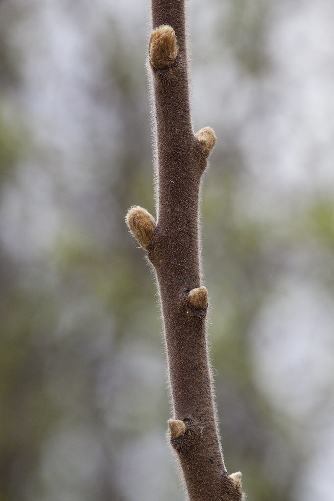 fuzzy branch budding
