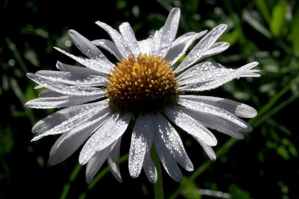 moisturized daisy