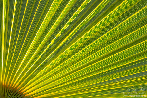 Coconut Palm Frond, Detail, Vieques, Puerto Rico