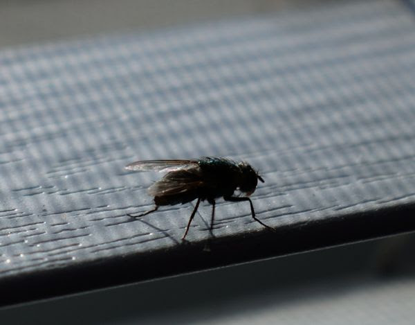 A close-up photo of the housefly resting on a window blind in my bedroom...as seen with a macro lens attached to my Nikon D3300 DSLR camera.