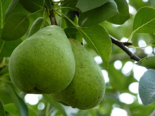 Früchte - fruits - Birnen - pears