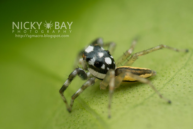 Jumping Spider (Salticidae) - DSC_9389