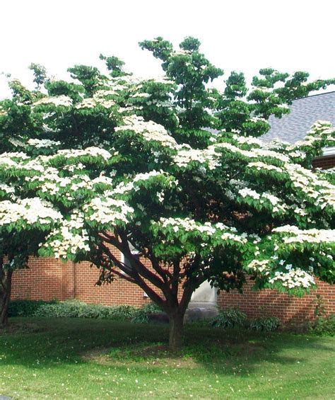 Buy Japanese Dogwood   single stem Online At