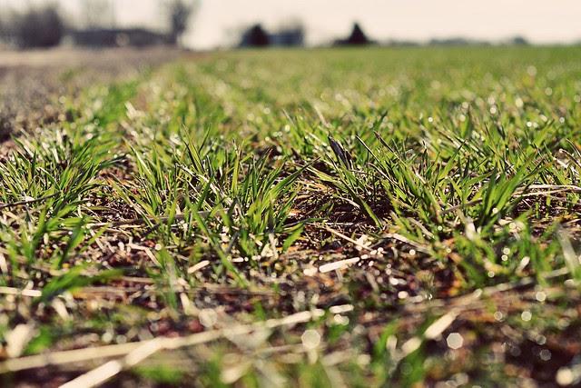 winter wheat (I think)