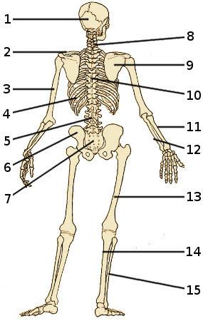 Free Anatomy Quiz - Bones of the Skeleton, Back View, Quiz 1